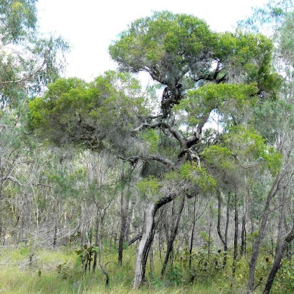 Чайное дерево (Melaleuca alternifolia)